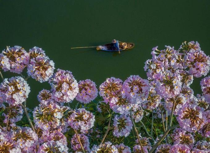 Hoa có hình chuông, mọc thành từng chùm 5 - 7 bông. Tuy nhiên, sau khi nở rộ khoảng một tuần, hoa dễ rụng do mưa phùn và gió lay cành nên du khách tranh thủ sớm đến check-in.