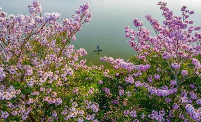 """""""Trong tiết trời se lạnh ngắm hàng hoa hồng phấn mang đến tâm trạng vô cùng sảng khoái"""", một du khách cho biết."""
