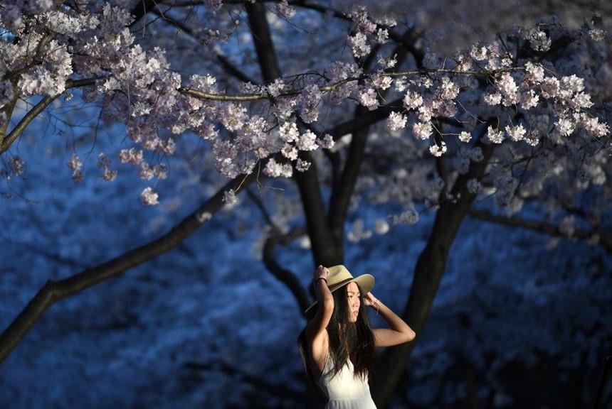 """Đã bao giờ bạn tự hỏi vì sao loài hoa đặc trưng của Nhật Bản lại xuất hiện ở thủ đô nước Mỹ xa xôi? Chuyện bắt đầu từ năm 1912, ông Yukio Ozaki, cố thị trưởng Tokyo đã đem anh đào từ xứ phù tang đến Mỹ để làm đẹp không gian khu vực hồ Tidal Basin. Những cây hoa anh đào mà chúng ta thấy ở Washington ngày nay có thể coi như """"họ hàng ruột thịt"""" với hoa anh đào Nhật Bản. Ảnh: Getty."""