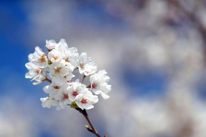 Tại vườn Enid A. Haupt phía sau lâu đài Smithsonian, hoa anh đã đã nở rộ nhuộm hồng cả một góc trời. Nếu bạn đang đến thủ đô Washington, đừng bỏ lỡ bức tranh thiên nhiên thơ mộng này. Ảnh: Getty.