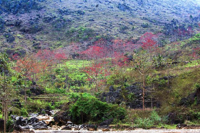 """Năm nay, hoa gạo ở Hà Giang nở sớm vào đầu tháng 3 và trùng với thời điểm """"xuân muộn"""" tại vùng cao nguyên đá, nơi những cây hoa đào mới bung nở rực rỡ."""