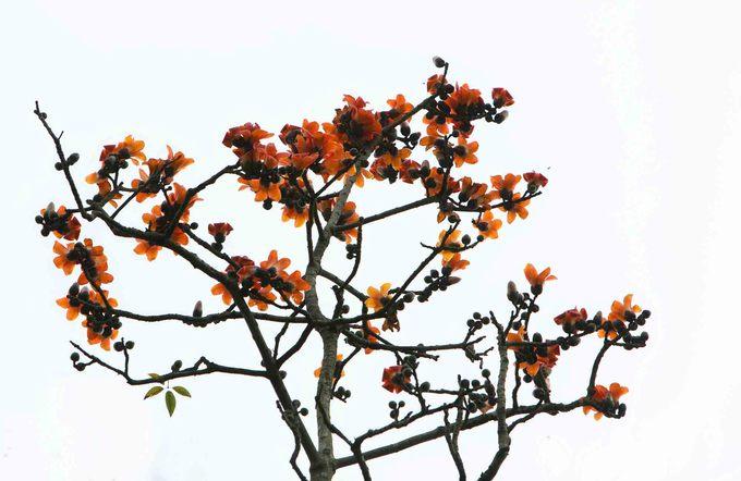 Hoa gạo nở thành chùm đỏ tươi trên lưng trời Hà Giang.