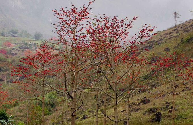 Cây hoa gạo thân cao và thẳng, các lá rụng vào mùa đông và trổ hoa năm cánh vào thời điểm xuân muộn trước khi ra lá non. Người dân tộc Mông ở Hà Giang thường nhặt hoa gạo để làm thức ăn cho gia súc.