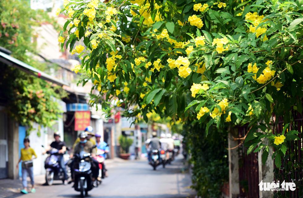 Cây hoa huỳnh liên được trồng làm cảnh ở các công viên, vỉa hè...