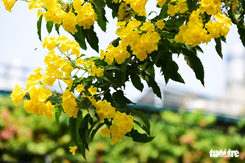 Ngoài làm đẹp, cây huỳnh liên còn được cho là trị được nhiều bệnh và sâu bọ