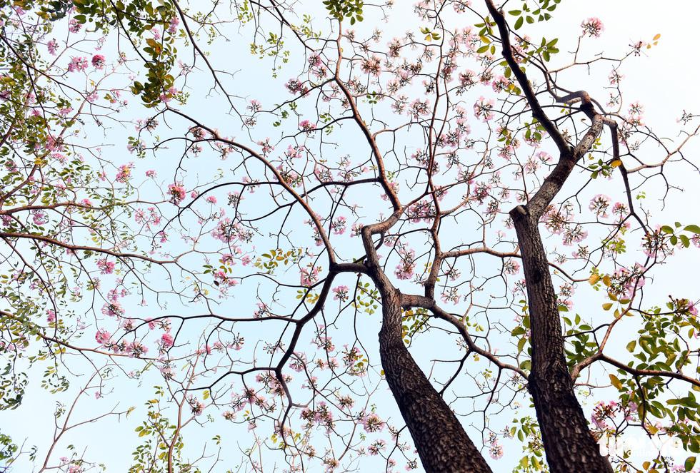 Những ngày này, thời tiết Sài Gòn nắng nóng, nhiệt độ trung bình 34-36 độ C, chính vì vậy mà những đóa kèn hồng được dịp bung nở - Ảnh: DUYÊN PHAN