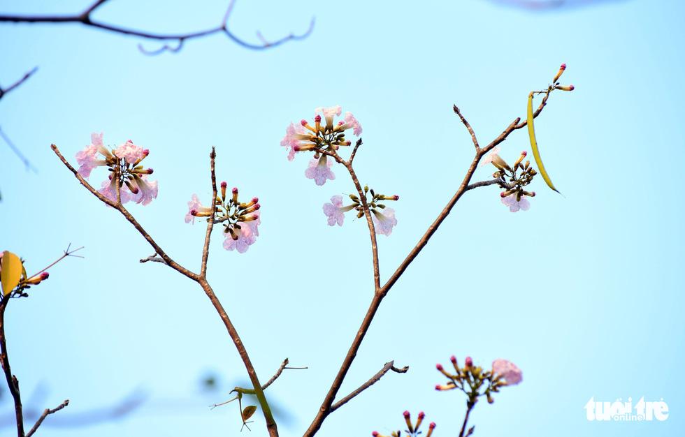 Thông thường khi cây ra hoa, hầu hết lá đều rụng, trên đầu mỗi cành chỉ nhìn thấy những cụm hoa tím hồng - Ảnh: DUYÊN PHAN