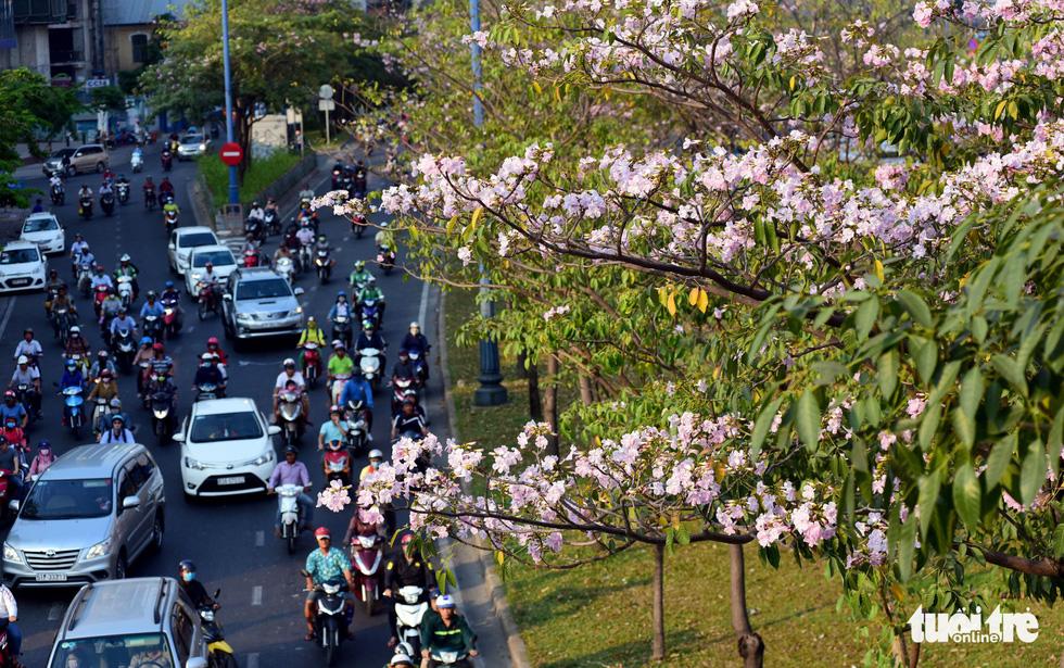 Mùa hoa kèn hồng tuy ngắn nhưng khiến thành phố trở nên mới mẻ hơn trong mắt người dân lẫn du khách - Ảnh: DUYÊN PHAN