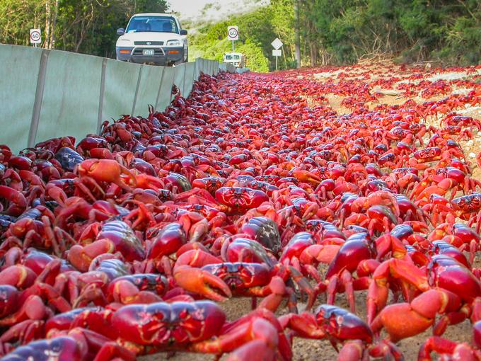 Đảo Christmas, hòn đảo cấm đường, xây cầu làm lối đi cho hàng triệu con cua – iVIVU.com