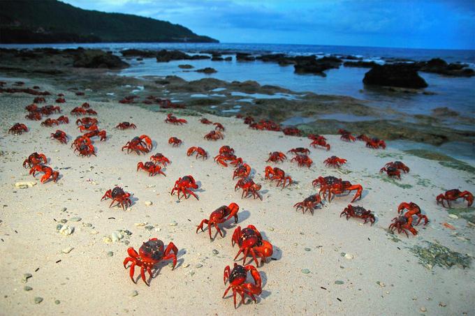Thời kỳ sinh sản của cua đỏ liên hệ mật thiết với chu kỳ mặt trăng và thủy triều. Sau khi đào hang ở bờ biển, cua đực sẽ giao phối và trở về đảo trước. Những con cua cái ở lại bãi biển ấp trứng khoảng hai tuần rồi mới quay lại rừng rậm. Ảnh: Justin Gilligan.