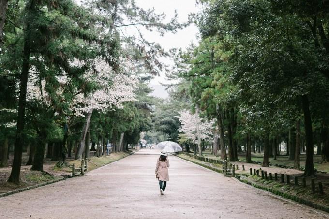Mùa hoa anh đào - mùa đẹp nhất trong năm ở Nhật Bản - đang bắt đầu ở nhiều thành phố phía nam. Bên cạnh Tokyo, Kyoto, Osaka, thành phố Nara cũng là một trong những nơi ngắm hoa anh đào nổi tiếng ở xứ sở phù tang.