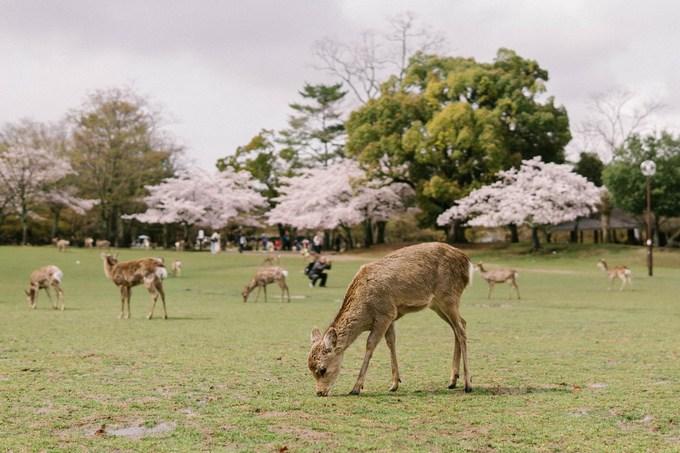 Công viên Nara là địa điểm mà bạn không thể bỏ qua khi đến thành phố này. Có khoảng 2.000 cây hoa anh đào được trồng ở đây. Bạn hẳn sẽ không muốn bỏ lỡ cảnh tượng những chú nai xinh xắn dạo chơi dưới những cây hoa tuyệt đẹp.