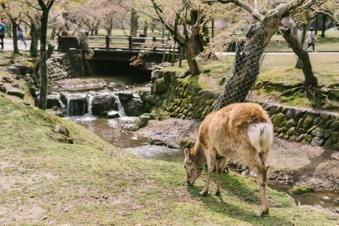 Nai ở Nara rất dạn người, thân thiện và hiền lành. Bạn có thể chơi đùa, vuốt ve chúng nhẹ nhàng, tuy nhiên nên tránh các hành động khiến nai hoảng sợ. Những chú nai sống trong công viên Nara vốn được coi trọng từ thời cổ đại. Người ta cho rằng chúng là các sứ giả bảo vệ đền Kasuga-taisha.