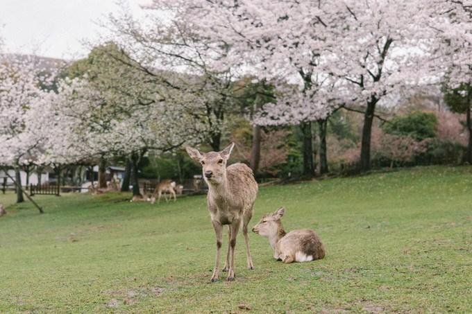Công viên Nara là nơi sinh sống và bảo tồn, chăm sóc của hơn 1.200 con nai và hươu thuộc các giống khác nhau. Tuy ngày nay người ta không còn tôn thờ nai như một vị thần nhưng với người dân Nara, nai như một biểu tượng sống của thành phố.