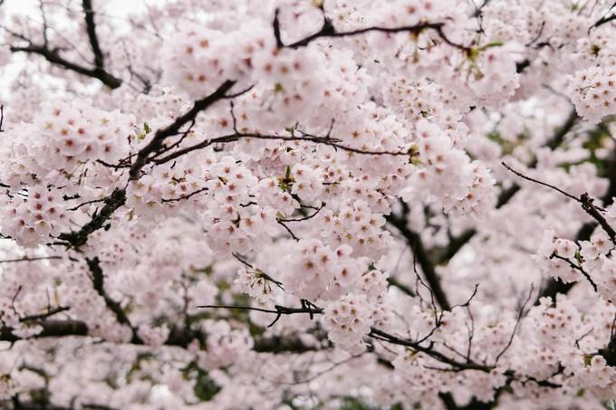 Hoa anh đào nở rực rỡ trong tiết trời xuân, đẹp tới mê mẩn.