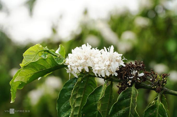 Mỗi năm, hoa cà phê thường nở khoảng 2-3 đợt, từ tháng 12 đến tháng 3 năm sau, mỗi đợt kéo dài từ 7 đến 10 ngày. Đến Gia Lai cuối tháng 3, du khách vẫn có cơ hội ngắm nhìn những bông hoa trắng muốt. Chỉ qua một đêm, những cánh rừng cà phê xanh chuyển hoa trắng dưới bầu trời trong xanh và cái nắng dịu nhẹ.