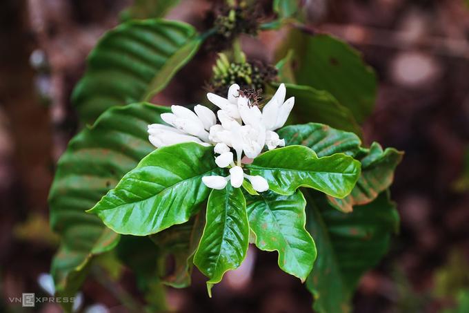 """Sáng sớm là lúc lý tưởng để bạn khởi đầu hành trình """"săn"""" hoa cà phê. Nhờ đặc điểm thổ nhưỡng là đất đỏ bazan màu mỡ, Gia Lai trở thành một trong những """"thủ phủ cây cà phê"""" ở Tây Nguyên."""