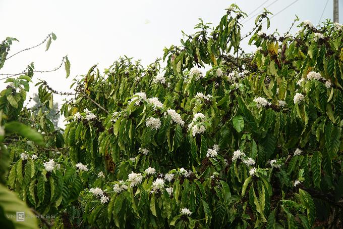 Màu trắng của hoa như hòa cùng những dải mây bồng bềnh, trải dài khắp các triền đồi, nhà vườn, nương rẫy...