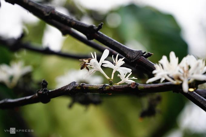 Hương hoa dịu nhẹ lan toả, quyến rũ ong bướm khắp nơi bay về hút mật. Đây cũng là lúc sâu bướm vàng mở kén. Khi chạy dọc các cung đường rời thành phố Pleiku về các huyện như Ia Grai, Ia Pa, Krông Pa... bạn sẽ bắt gặp bướm bay rợp trời.