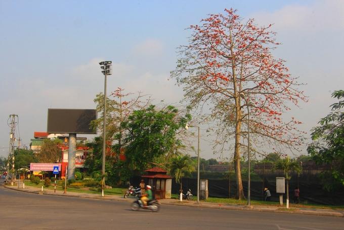 Đầu tháng 3, nhiều cây hoa gạo ở thành phố Huế bắt đầu rụng lá và nở hoa.