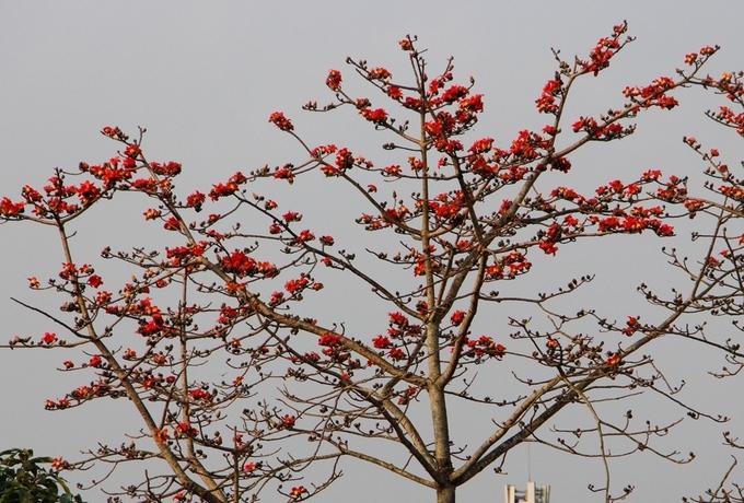 Trên đường Lê Duẩn, có bốn cây hoa gạo đỏ do Trung tâm công viên cây xanh Huế chăm sóc. Mỗi cây cao hơn 10 m, tán rộng nở rất nhiều hoa.