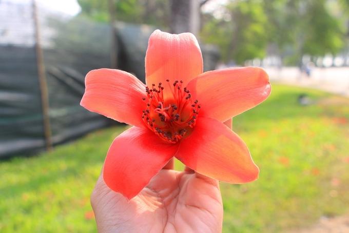 Hoa gạo đỏ còn gọi là hoa mộc miên, có năm cánh như hình ngôi sao, màu đỏ rực. Theo Đông y, toàn bộ cây gạo được sử dụng làm thuốc với tác dụng thanh nhiệt, giải độc. Riêng hoa được sử dụng chữa nhiều bệnh viêm loét dạ dày, tá tràng...