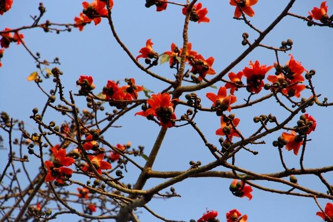 Hoa gạo đỏ rực trong tiết trời tháng 3 trở thành một hình ảnh quen thuộc trong mắt người dân Huế khi đi ngang qua cầu Dã Viên giao nhau với đường Lê Duẩn.