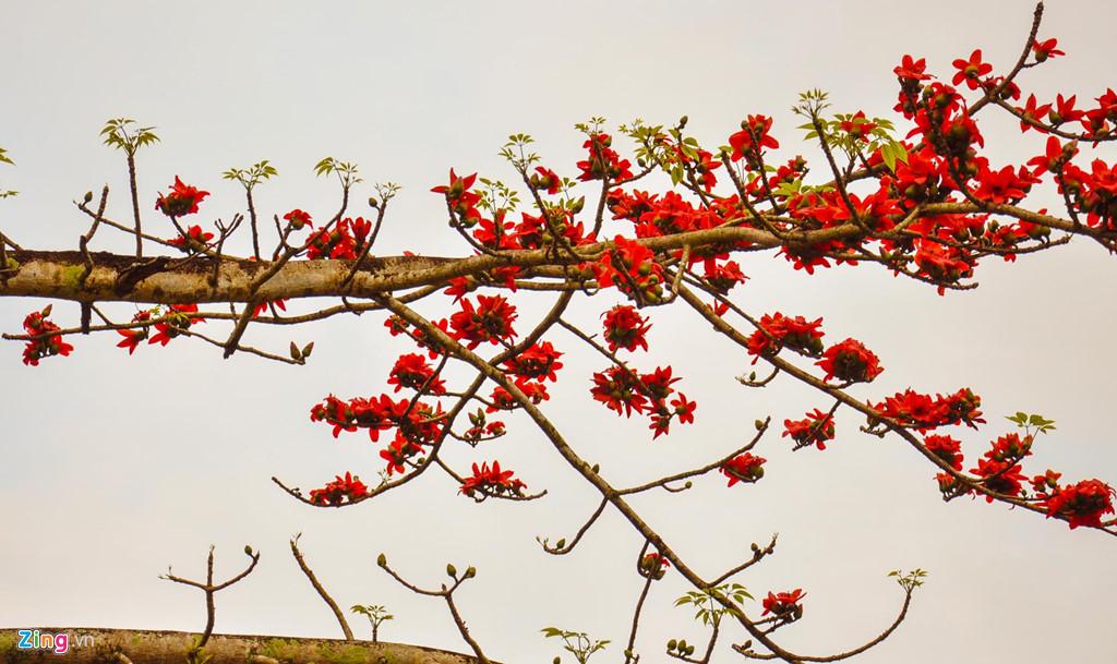 Hoa gạo đỏ rực khoe sắc giữa mây trời vùng cao Sơn Tây.