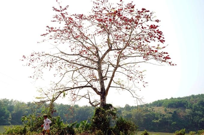 Trên các cung đường ở huyện miền núi Sơn Hà, Sơn Tây (Quảng Ngãi), nhiều cây gạo nở hoa đỏ rực như những đốm lửa giữa núi rừng.