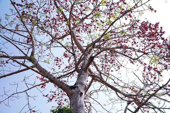 """Nhiều cây gạo có tuổi đời hàng chục năm, thân cao hơn 10 m, nhiều nhánh tạo thành tán rộng. Theo người dân, thoạt nhìn cây có thể dùng làm gỗ nhưng thật tế gỗ rất mềm. """"Bán không ai mua nên để đó trổ bông cho đẹp"""", một người dân nói."""