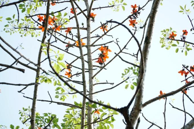 Hoa gạo còn có tên là hoa Mộc Miên, hoa Pơ Lang. Cùng vỏ cây và rễ, hoa gạo được sử dụng trong Đông Y để chữa bệnh.
