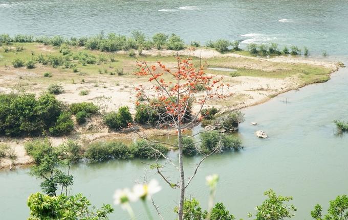 Một cây gạo nhỏ mọc giữa lòng sông Rin, huyện Sơn Hà.
