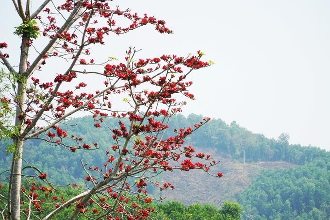 Núi rừng Quảng Ngãi bừng sáng màu hoa gạo – iVIVU.com