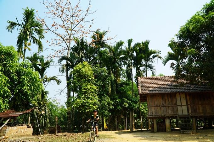 Cây gạo nở hoa nổi bật so với các cây khác trồng trong sân.