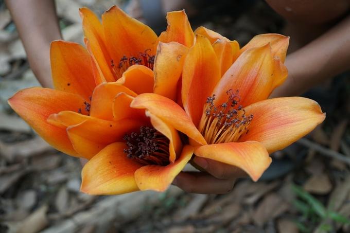 Hoa gạo có 5 cánh như hình ngôi sao. Nhặt hoa rơi là thú vui của trẻ em vùng cao.