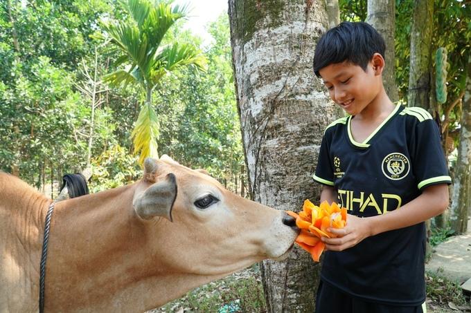 Cậu bé lấy hoa gạo vừa nhặt đùa nghịch với bò.