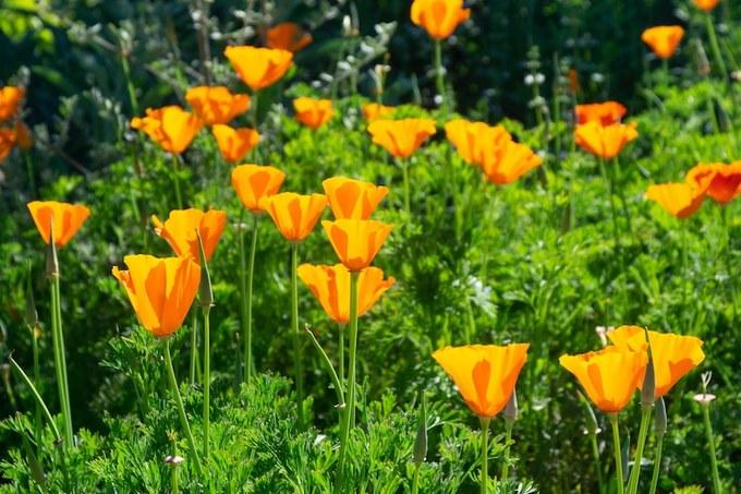 """Khí hậu ở đây khô, nóng như sa mạc, là nơi """"ẩn mình"""" của hàng triệu bông hoa anh túc dại chờ điều kiện thuận lợi để nở."""