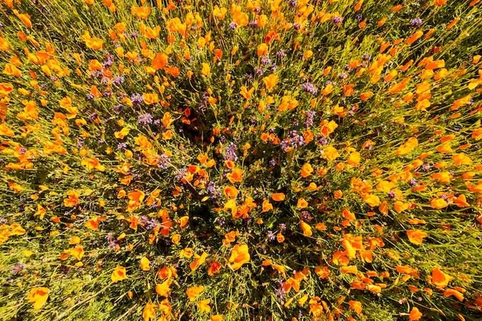 Năm nào hoa cũng nở, nhưng thường lác đác vài mảng nhỏ. Chỉ khi lượng mưa trên mức trung bình, tạo độ ẩm lý tưởng thì những cây anh túc dại mới nở rộ.