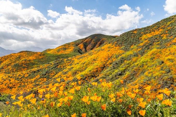 """Mỗi lần hoa nở đồng loạt phủ đầy sườn núi, người ta gọi là """"siêu nở rộ"""". Lần """"siêu nở rộ"""" gần đây nhất là vào năm 2017. Không có chu kỳ chính xác cho hiện tượng này, có khi là vài năm hoặc bạn phải chờ cả chục năm mới được chiêm ngưỡng."""