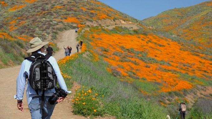 Chính vì thế mà khi hoa nở, du khách khắp nơi đổ về để săn hoa, đặc biệt là khu vực bên bờ hồ Elsinore.