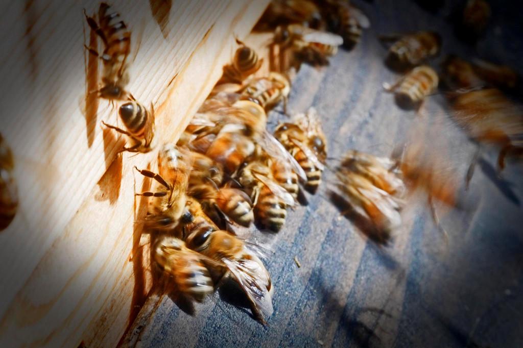 9. Vào mùa xuân năm 2013, có một đàn ong đã làm tổ trên mái nhà kho đồ thánh. Bằng cách nuôi tổ ong, nhà thờ Đức Bà muốn khơi gợi lại vẻ đẹp của sự sáng tạo và trách nhiệm của con người đối với nó. Ảnh: Euractiv.