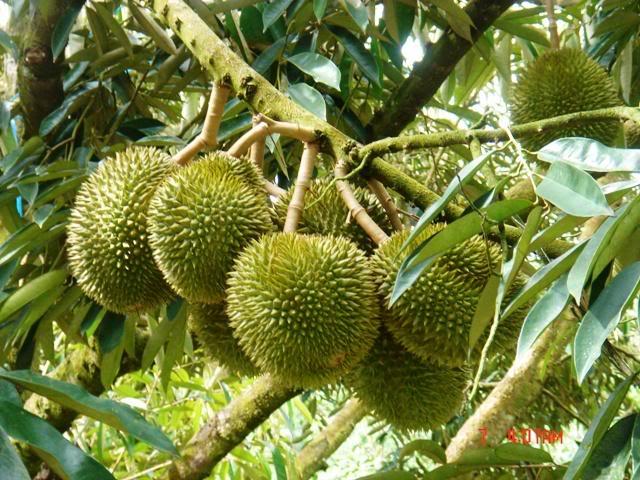 9-vườn-trái-cây-gần-xịt-Sài-Gòn-ivivu-12