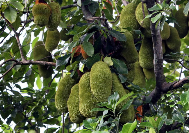 9-vườn-trái-cây-gần-xịt-Sài-Gòn-ivivu-13