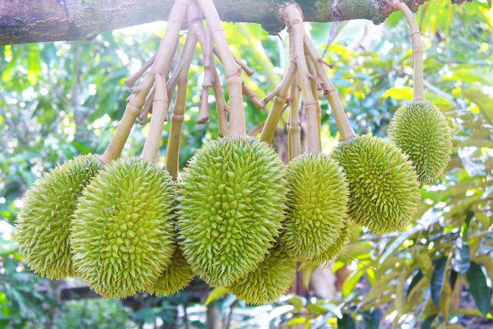 9-vườn-trái-cây-gần-xịt-Sài-Gòn-ivivu-14