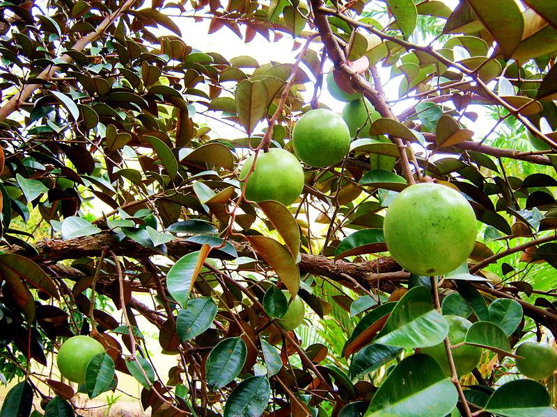 9-vườn-trái-cây-gần-xịt-Sài-Gòn-ivivu-15