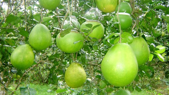 9-vườn-trái-cây-gần-xịt-Sài-Gòn-ivivu-16