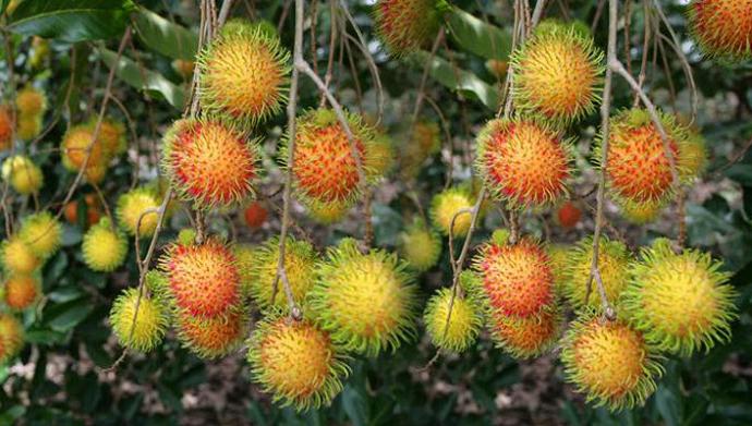 9-vườn-trái-cây-gần-xịt-Sài-Gòn-ivivu-17