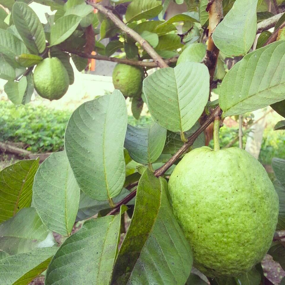 9-vườn-trái-cây-gần-xịt-Sài-Gòn-ivivu-5