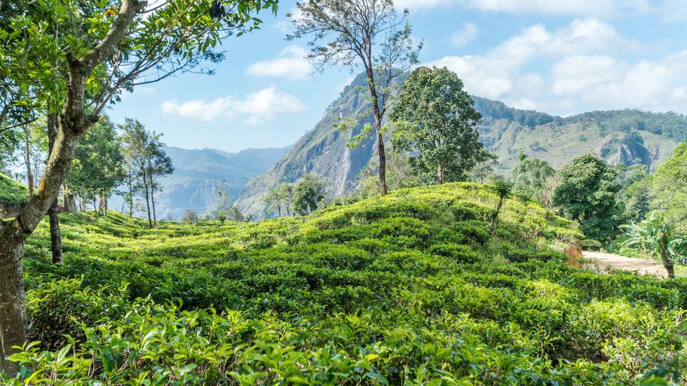 Bạn sẽ băng qua những đồi chè xanh mướt để lên đỉnh núi.