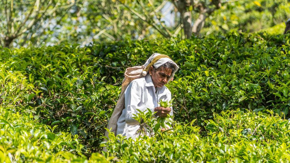 Người dân Sri Lanka hái những búp trà tươi.